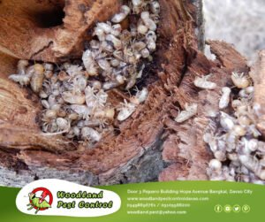 Pest Control in Davao City
